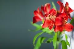 与绿色叶子的红色德国锥脚形酒杯花在灰色背景关闭,明亮的桃红色百合花束 库存图片
