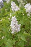 与绿色叶子的美丽的白色淡紫色花 库存图片