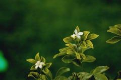 与绿色叶子的美丽的白花 库存图片