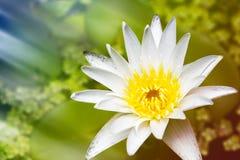 与绿色叶子的美丽的白莲教花在池塘是complime 库存图片
