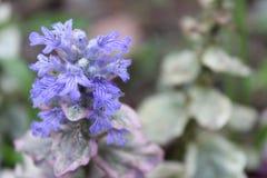 与绿色叶子的美丽的蓝色花在背景中 免版税库存图片