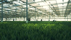 与绿色叶子的花在一个宽敞温室里 股票视频