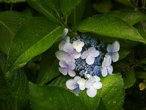与绿色叶子的蓝色oxalis 免版税库存照片