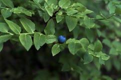 与绿色叶子的蓝莓 库存照片