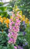 与绿色叶子的逗人喜爱的桃红色花在庭院里 免版税库存图片
