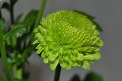 与绿色叶子的鲜绿色的黄色菊花花 库存照片