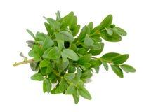 与绿色叶子的黄杨木潜叶虫(配件箱)分行 免版税库存图片
