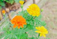 与绿色叶子的黄色花在庭院里 库存图片