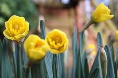 与绿色叶子的黄色郁金香在背景中 免版税库存图片