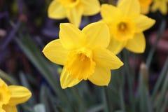 与绿色叶子的黄色郁金香在背景中 图库摄影
