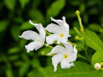 与绿色叶子,自然照片的美丽的白花 免版税库存照片