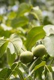 与绿色叶子ona分支的未成熟的桃子 库存照片