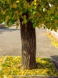 与绿色和黄色叶子的秋天树 库存图片