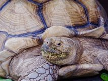 与绿色嘴的巨型非洲被激励的或Sulcata草龟通过吃在关闭的菜在动物园里 免版税图库摄影