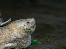 与绿色嘴的巨型非洲被激励的或Sulcata草龟通过吃在关闭的菜在动物园里 免版税库存图片