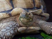 与绿色嘴的巨型非洲被激励的或Sulcata草龟通过吃在关闭的菜在动物园里 库存照片