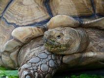 与绿色嘴的巨型非洲被激励的或Sulcata草龟通过吃在关闭的菜在动物园里 库存图片