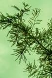 与绿色天空的室外现出轮廓的杉木针纹理词根分支在背景中 免版税库存照片