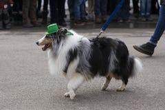 与绿色帽子的美丽的三色设德蓝群岛牧羊犬参加圣帕特里克游行的 库存照片