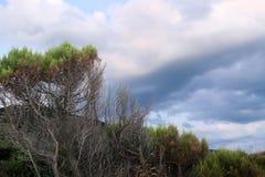 与绿色树梢的多枝干杜松树在阴沉的天空背景 免版税库存照片