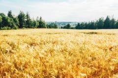 与绿色森林的金黄麦田 库存照片