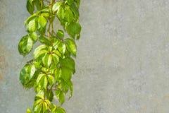 与绿色植物的灰色墙壁纹理在左边 库存图片