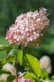 与绿色的一朵异常的花离开与生长一个密集的茧的精美矮小的淡粉红的瓣在它稀薄附近 词根 免版税库存图片