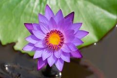 与绿色的亚洲紫色荷花离开背景 免版税库存照片