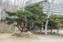 与绿色的大盆景树在Shiraoi阿伊努的村庄博物馆区域离开在北海道,日本 图库摄影