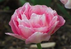与绿色的宏观桃红色和白色郁金香 免版税库存图片