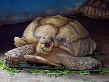 与绿色的巨型非洲被激励的或Sulcata草龟通过吃在关闭的菜张了嘴在动物园里 库存图片