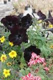 与绿色的开花的黑暗的喇叭花花在庭院离开 黑暗的紫罗兰色喇叭花花卉样式 免版税库存照片