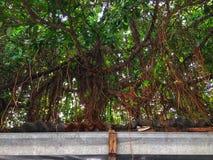 与绿色的榕树背景离开背景 免版税库存照片
