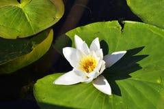 与绿色的欧洲白色Waterlily在多瑙河三角洲,罗马尼亚离开 免版税图库摄影