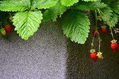 与绿色的红色森林莓果在罐离开 库存图片