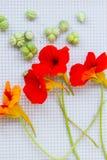 与绿色种子的五颜六色的金莲花花在灰色背景 顶视图 免版税库存照片