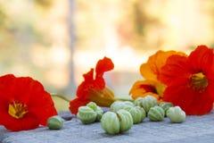 与绿色种子的五颜六色的金莲花花在自然本底 免版税库存图片