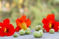 与绿色种子的五颜六色的金莲花花在自然本底 库存图片