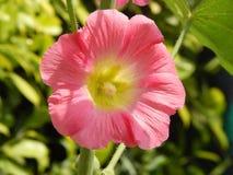 与绿色花粉在中心和绿色bokeh背景的桃红色色的花 免版税图库摄影