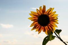 与绿色茎的向日葵由后照反对与云彩的晴朗的蓝天在春天和夏天期间 免版税库存照片