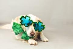 与绿色蝶形领结的白色金毛猎犬和三叶草集会玻璃反对灰色无缝的背景 免版税库存照片