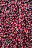 与绿色词根的新鲜的成熟红色紫色樱桃 免版税库存照片