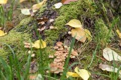 与绿色青苔和蘑菇的树桩在秋天 免版税库存图片