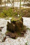 与绿色青苔的树桩在森林里 库存图片