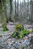 与绿色青苔的老树桩在秋天森林里 库存图片
