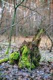 与绿色青苔的老树桩在秋天森林里 免版税库存照片