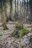 与绿色青苔的老树桩在秋天森林里 库存照片