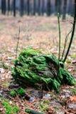 与绿色青苔的老树桩在秋天森林里 图库摄影