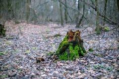 与绿色青苔的老树桩在秋天森林里 免版税库存图片