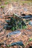 与绿色青苔的老树桩在秋天森林里 免版税图库摄影